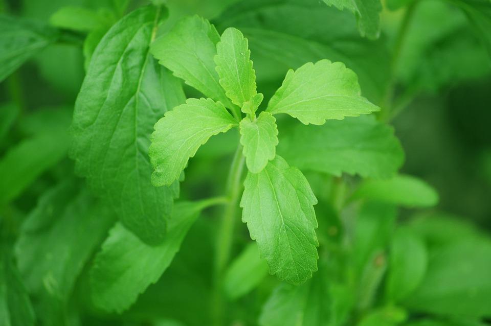 Stevia rastlina - koristi in uporaba.