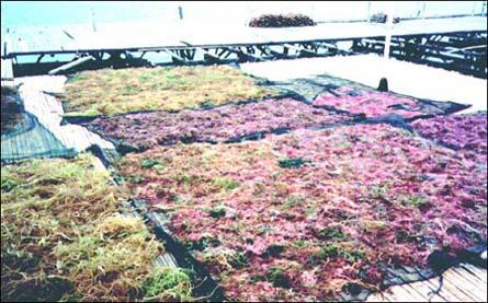 Sušenje alge Kappaphycus alvarezii