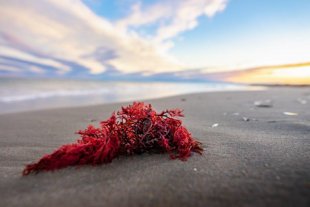 karagenan - rdeče alge