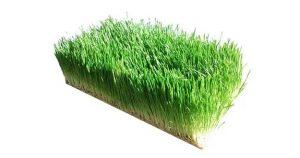 Ječmenova trava