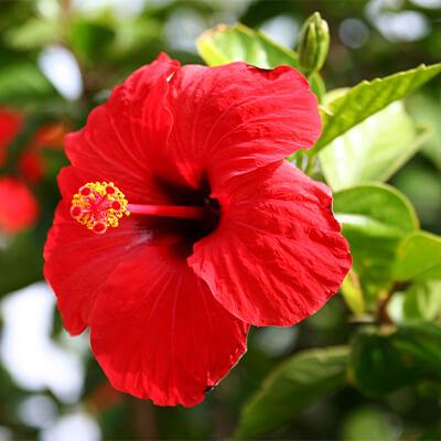 Hibiskus - Hibiscus Rosa Sinensis
