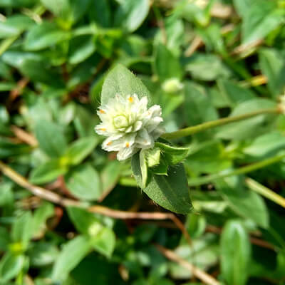 Rastlina Bhringraj - Eclipta Alba