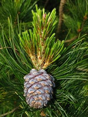 Sibirska cedra - Pinus Sibirica
