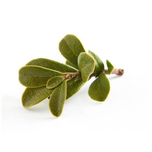 Vednozeleni gornik - izvleček listov